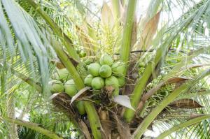 kokosový olej má antibakteriálne účinky